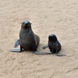 Cape fur seals, Skeleton Coast, Namibia Stock Photos