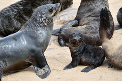 Cape fur seals, Skeleton Coast, Namibia Royalty Free Stock Images