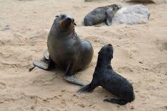 Cape fur seals, Skeleton Coast, Namibia. Young cape fur seal and his mother, Skeleton Coast, Namibia stock image
