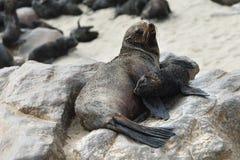Cape fur seals, Skeleton Coast, Namibia Royalty Free Stock Photos