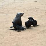 Cape fur seals, Skeleton Coast, Namibia. Young Cape fur seals and theirs mother, Skeleton Coast, Namibia royalty free stock photos