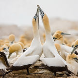 Cape Gannet royalty free stock photos