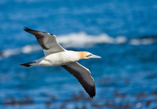 Cape Gannet. Comming to land in the colony on the island Royalty Free Stock Photography