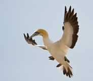 Cape Gannet. Comming to land in the colony on the island Royalty Free Stock Photos