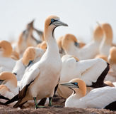 Cape Gannet. Guarding its mate on the nest Royalty Free Stock Photo