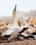 Cape Gannet Royalty Free Stock Images