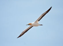 Cape Gannet royalty free stock image