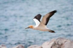 Cape Gannet. Flying over an island in the ocean Stock Photos