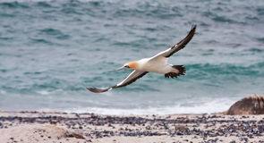 Cape Gannet. Flying over the beach and waves Stock Image