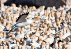 Cape Gannet. Landing at the colony to get to his nest Stock Images