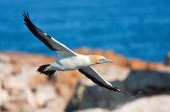 Cape Gannet. Gape Gannet comming in to land on the colony island Royalty Free Stock Photos