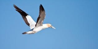 Cape Gannet. Flying against bright blue sky Stock Image
