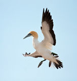 Cape Gannet Royalty Free Stock Photo