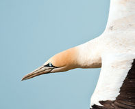 Cape Gannet. Portrait closeup in flight in sunlight Stock Photos