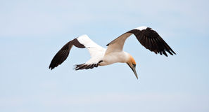 Cape Gannet. Flying against the bright blue sky Royalty Free Stock Image