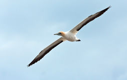 Cape Gannet royalty free stock photography