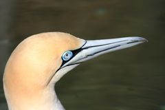 Cape gannet. Looking with its blue eyes stock photo