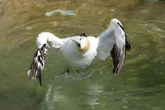 Cape gannet. Coming in to land making a splash stock images