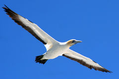 Cape gannet a3. A flock of gannets at Bird Island , Lamberts Bay, South Africa Royalty Free Stock Photo