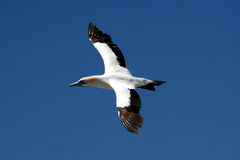 Cape gannet a4. A flock of gannets at Bird Island , Lamberts Bay, South Africa Stock Images