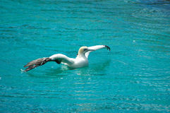 Cape Gannet bird Stock Photo