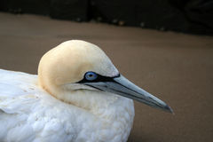 Cape Gannet Closeup Stock Photos