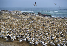 Cape Gannet Colony Stock Photos