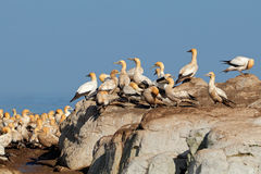 Cape gannet colony Royalty Free Stock Photos