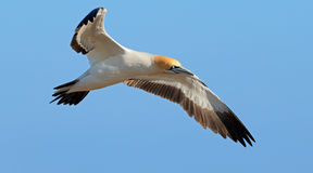 Cape gannet in flight Royalty Free Stock Images