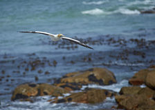 Cape Gannet Flying Royalty Free Stock Photos