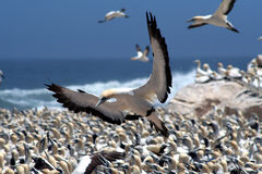 Cape gannet landing. A flock of gannets at Bird Island , Lamberts Bay, South Africa Stock Images