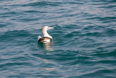 A cape gannet swimming in the ocean Royalty Free Stock Photography