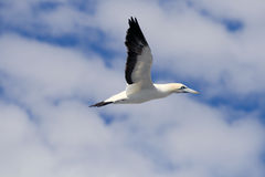 Cape Gannets Stock Images