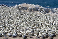Cape Gannets Stock Photos