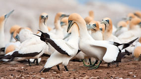 Cape Gannets Stock Image