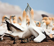 Cape Gannets Stock Photo