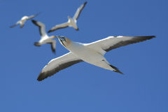 Cape gannets Royalty Free Stock Photos