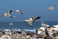 Cape gannets B2. A flock of gannets at Bird Island , Lamberts Bay, South Africa Stock Photos