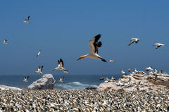 Cape gannets B5. A flock of gannets at Bird Island , Lamberts Bay, South Africa Stock Image