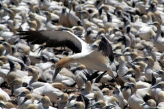 Cape gannets  B7. A flock of gannets at Bird Island , Lamberts Bay, South Africa Royalty Free Stock Photography