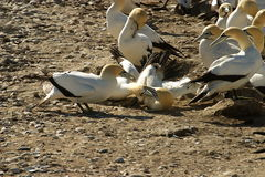 Cape Gannets fighting Stock Image
