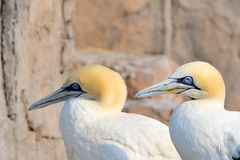 Cape Gannets II Royalty Free Stock Photography
