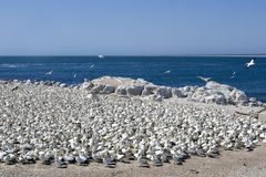 Cape Gannets Morus capensis Royalty Free Stock Photos