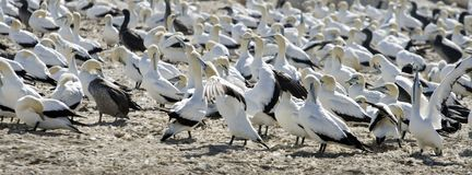 Cape Gannets Morus capensis South Africa Royalty Free Stock Images