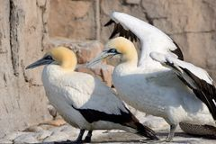 Cape Gannets Stock Images