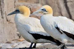 Cape Gannets Royalty Free Stock Image
