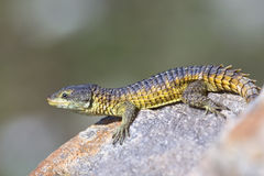 Cape Girdled Lizard Royalty Free Stock Photos