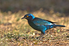 Cape Glossy Starling Stock Image
