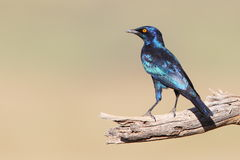 Cape Glossy Starling Royalty Free Stock Image