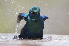Cape glossy starling bathe in shallow water pool on a hot day. Cape glossy starling bathe in a shallow water pool on a hot day Stock Photography